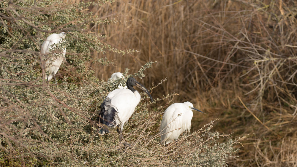 African Sacred Ibis (Threskiornis aethiopicus) in Camargue, France. February 2018. Not baited. Not called in.