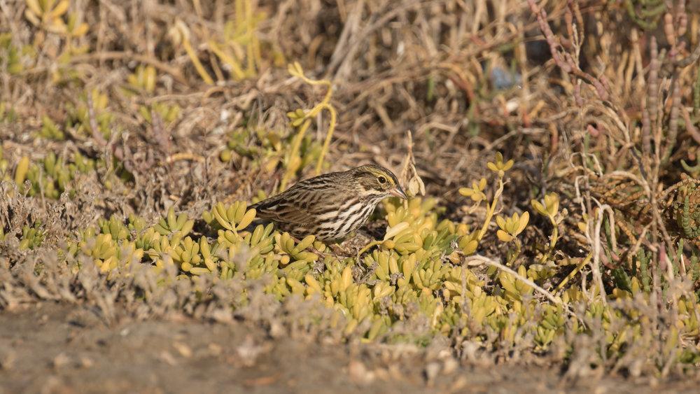 Savannah Sparrow (Passerculus sandwichensis) at Bolsa Chica Ecological Reserve, Orange County, California.
