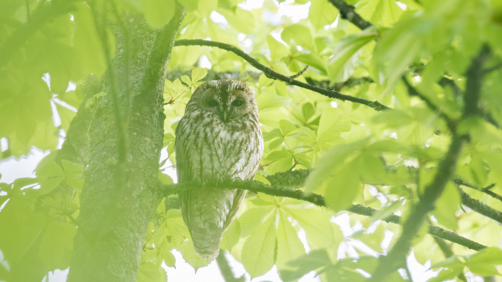 tawny-owl-canton-of-geneva-switzerland