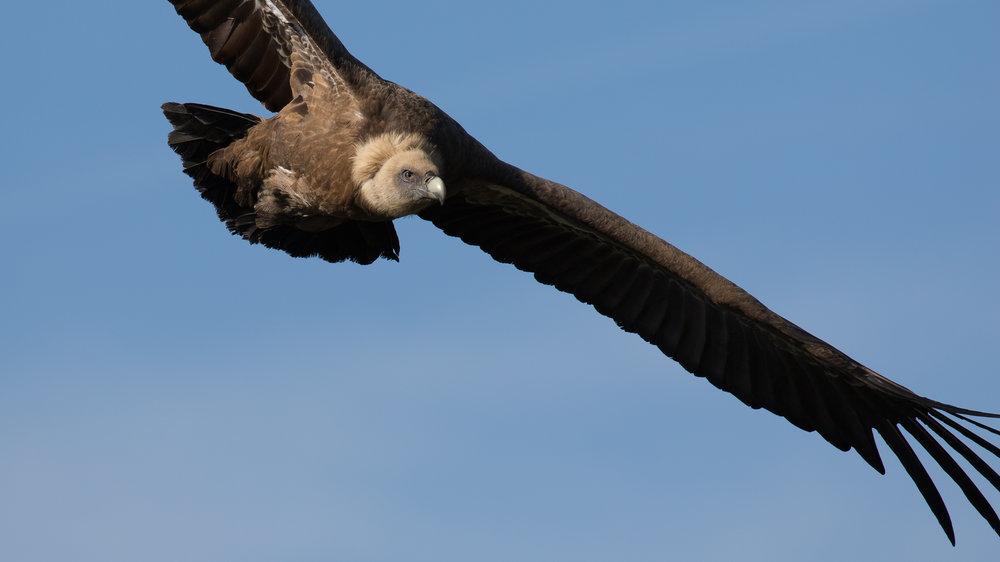 griffon-vulture-remuzat-wildlife-photography-workshop