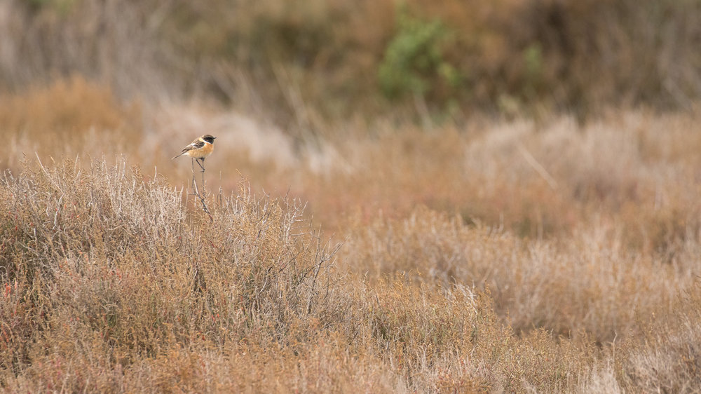 Male Common Stonechat (Saxicola torquatus) in France. Completely black head, with white patches on the sides of the neck.