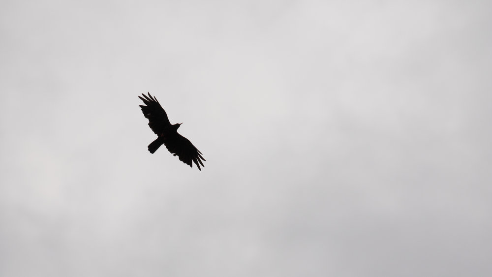 Red-billed Chough (Pyrrhocorax pyrrhocorax) in Hautes-Alpes, France. July 2018. Not baited. Not called in.