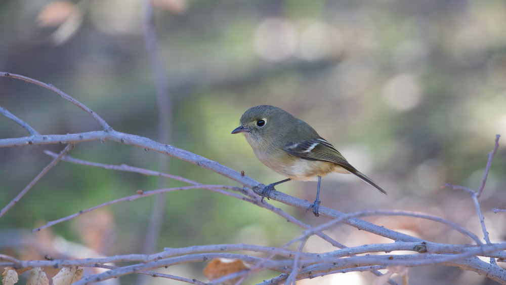 Hutton's Vireo (Vireo huttoni) in Orange County, California. Not baited. Not called in. December 2018.