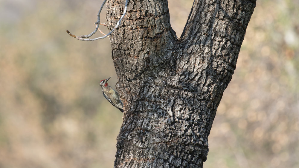 Red-naped Sapsucker (Sphyrapicus nuchalis) in Orange County, California. Not baited. Not called in. December 2018