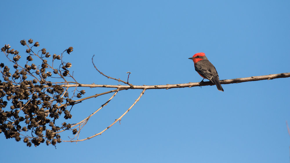 Common Vermilion Flycatcher (Pyrocephalus rubinus) in Orange County, California. Not baited. Not called in. January 2019.