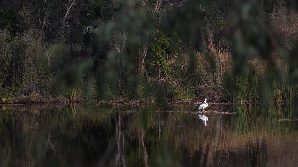 American White Pelican (Pelecanus erythrorhynchos) in Laguna Niguel, Orange County, California. December 2018. Not baited. Not called in.