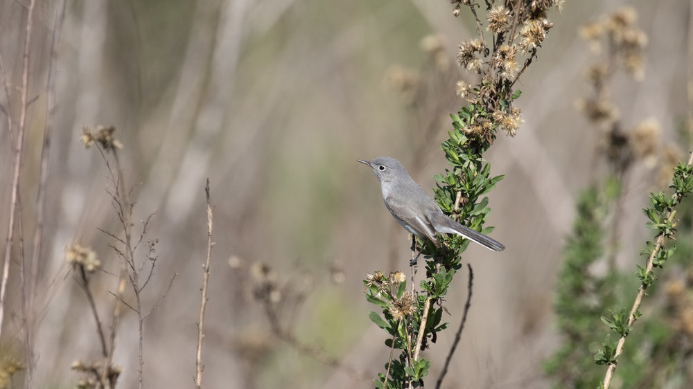 Blue-grey Gnatcatcher (Polioptila caerulea) in Orange County, California. December 2018. Not baited. Not called in.