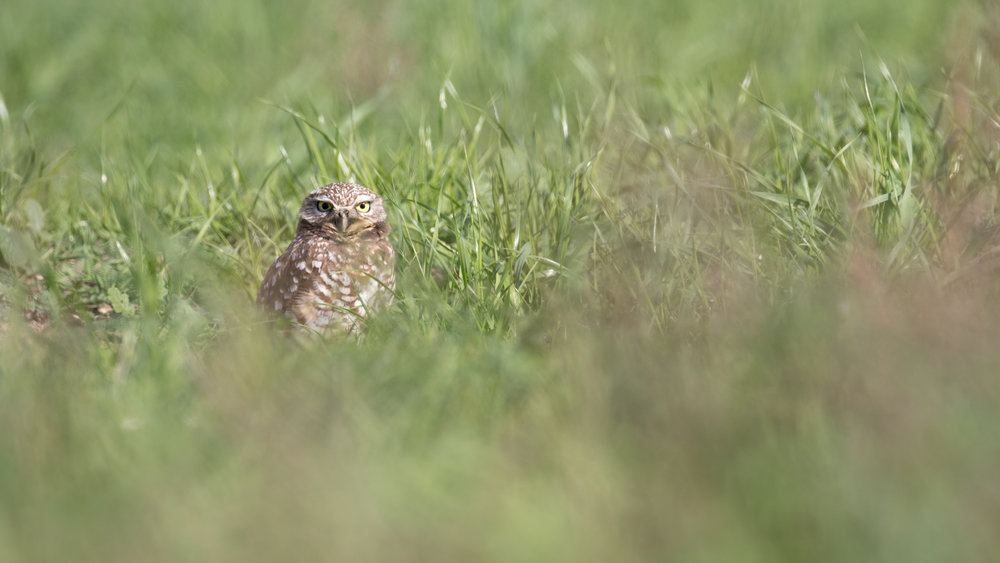 Burrowing Owl (Athene cunicularia) in Orange County, California. December 2018. Not baited. Not called in.