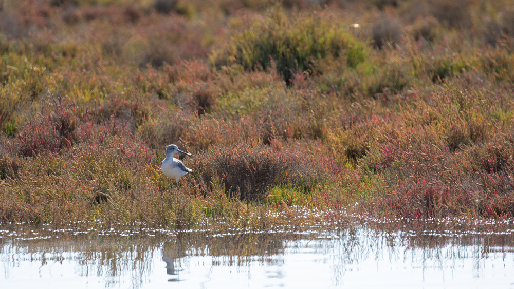 Common Greenshank (Tringa nebularia) in Catalonia, Spain. October 2018. Not baited. Not called in.