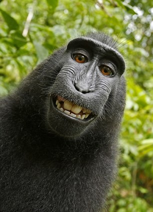 Grinning selfie of said monkey.