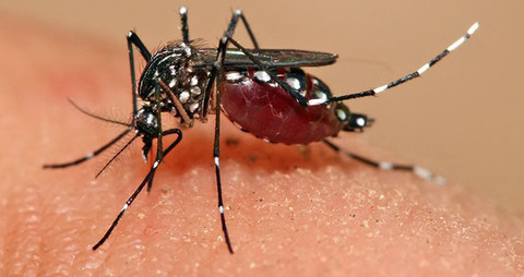 Aedes mosquito-- the genus that spreads Zika