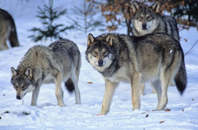 European-Wildlife-Wolf-pack-in-winter.jpg