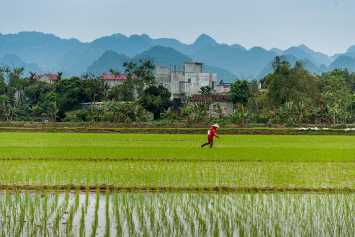 Rice paddies, Vietnam
