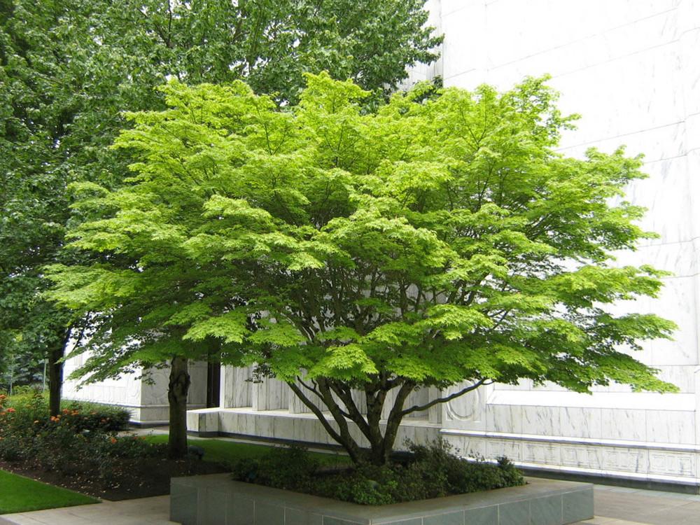 Temple Acer palmatum_web.jpg