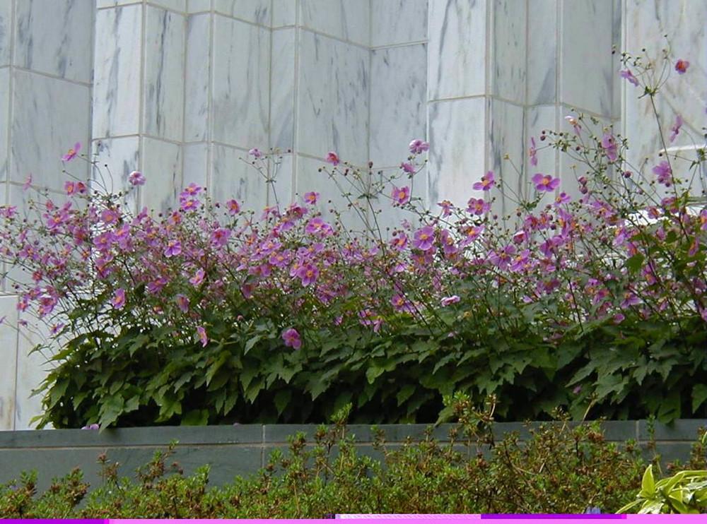 Temple anemone_web.jpg
