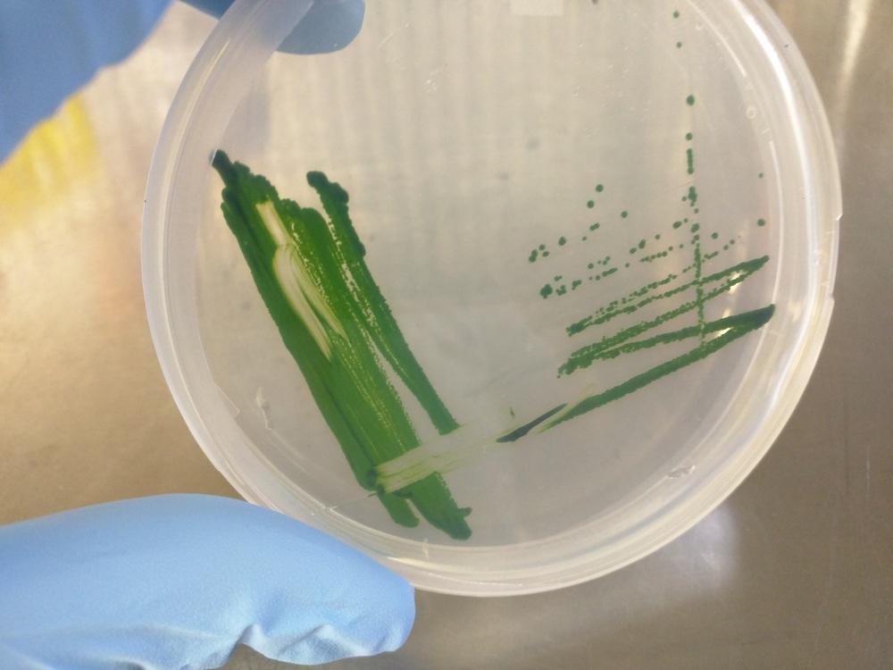 The green microalga, Chlmaydomonas reinhardtii , grown on Tris-Acetate-Phosphate (TAP) medium.