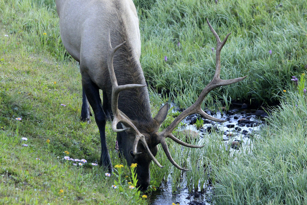 colorado-rocky-mountains-national-park-deer-drinking-water.jpg