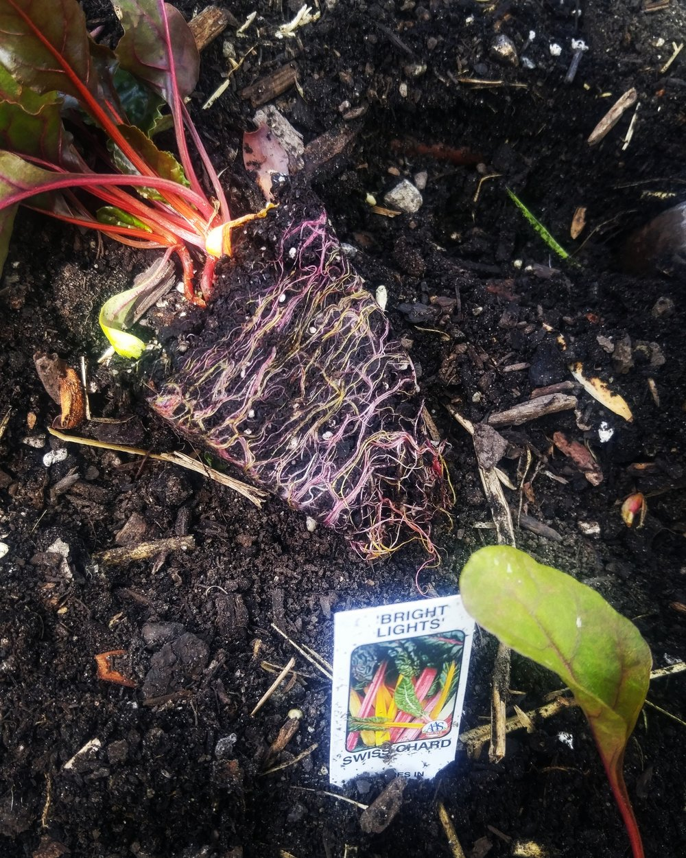I planted some cold weather crops for a client in her raised beds filled with compost. I love how the Swiss Chard's roots are just as colorful as their leaves.