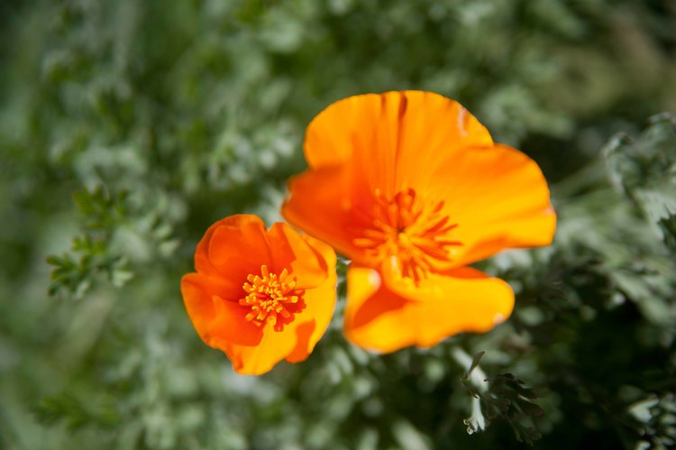 Featured native plant santa ynez valley botanic garden the california poppy is a member of the papaveraceae family the poppy family consists of 42 genera and approximately 800 species mightylinksfo