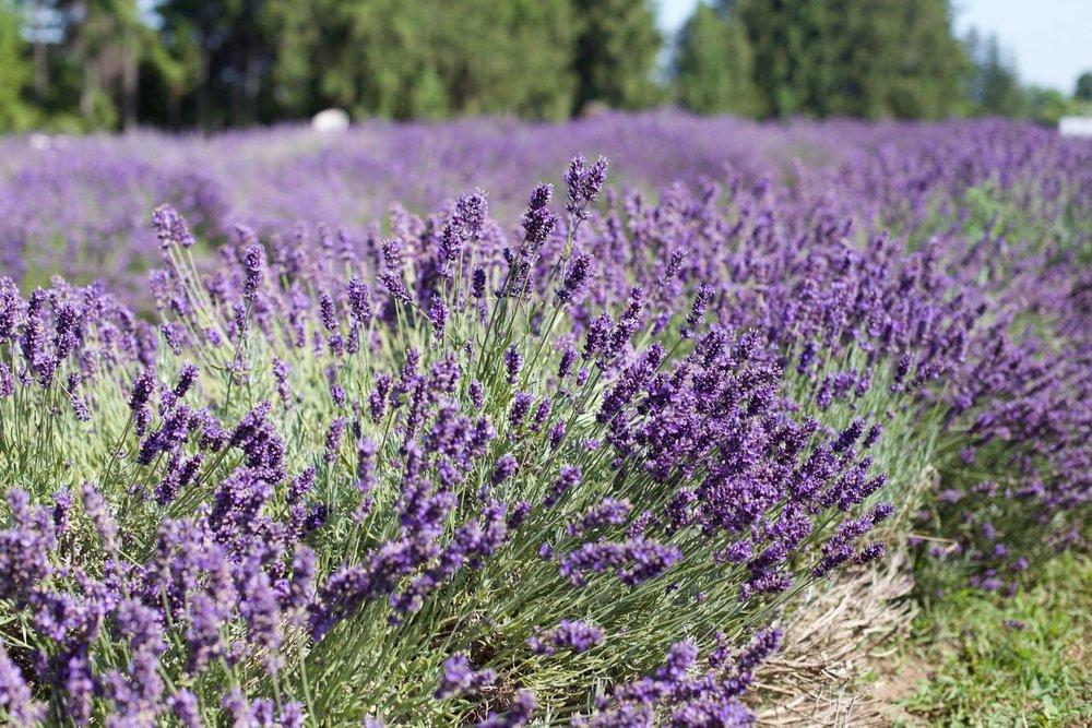 lavender-field - 2.jpg