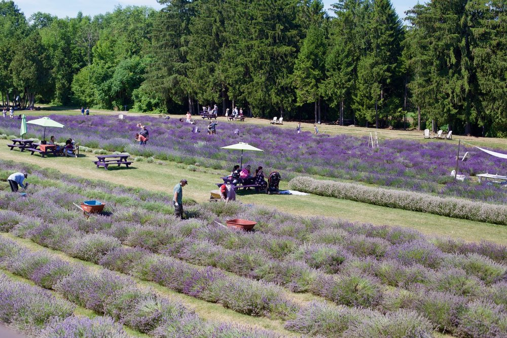 lavender-field - 6.jpg