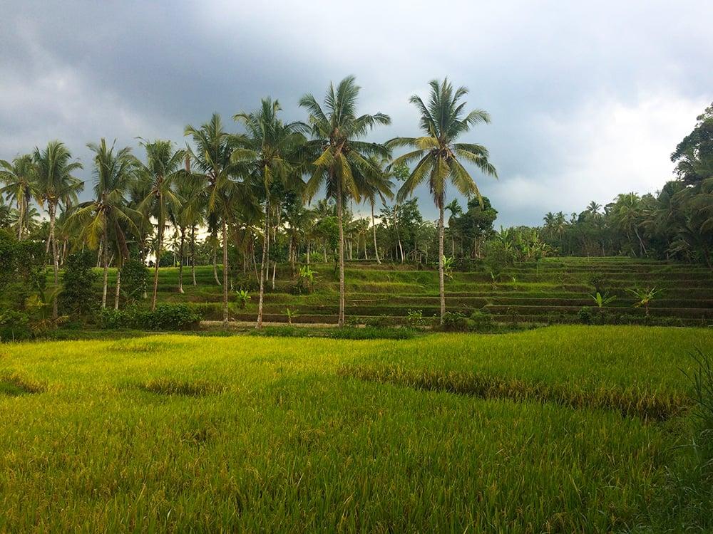 ricefield11.jpg