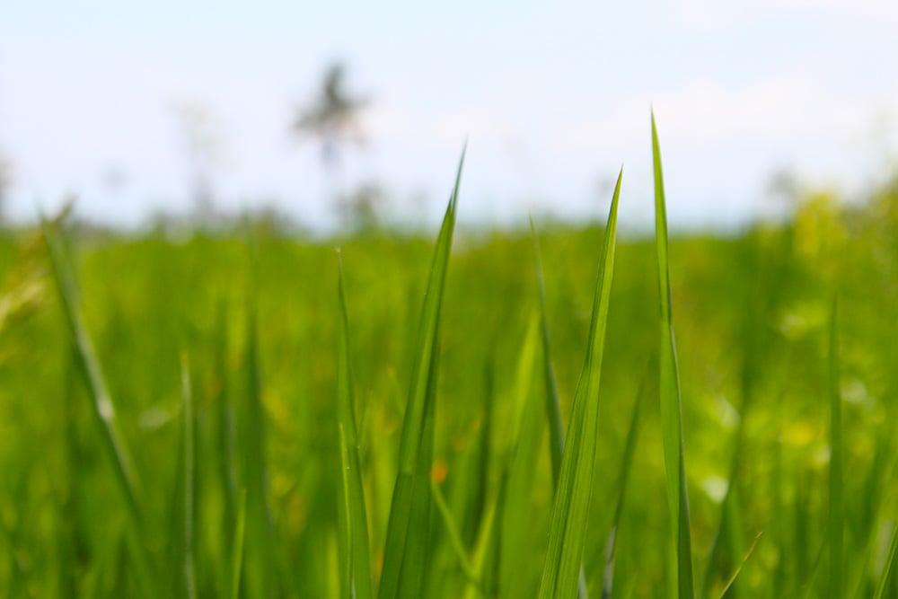 ricefield2.jpg