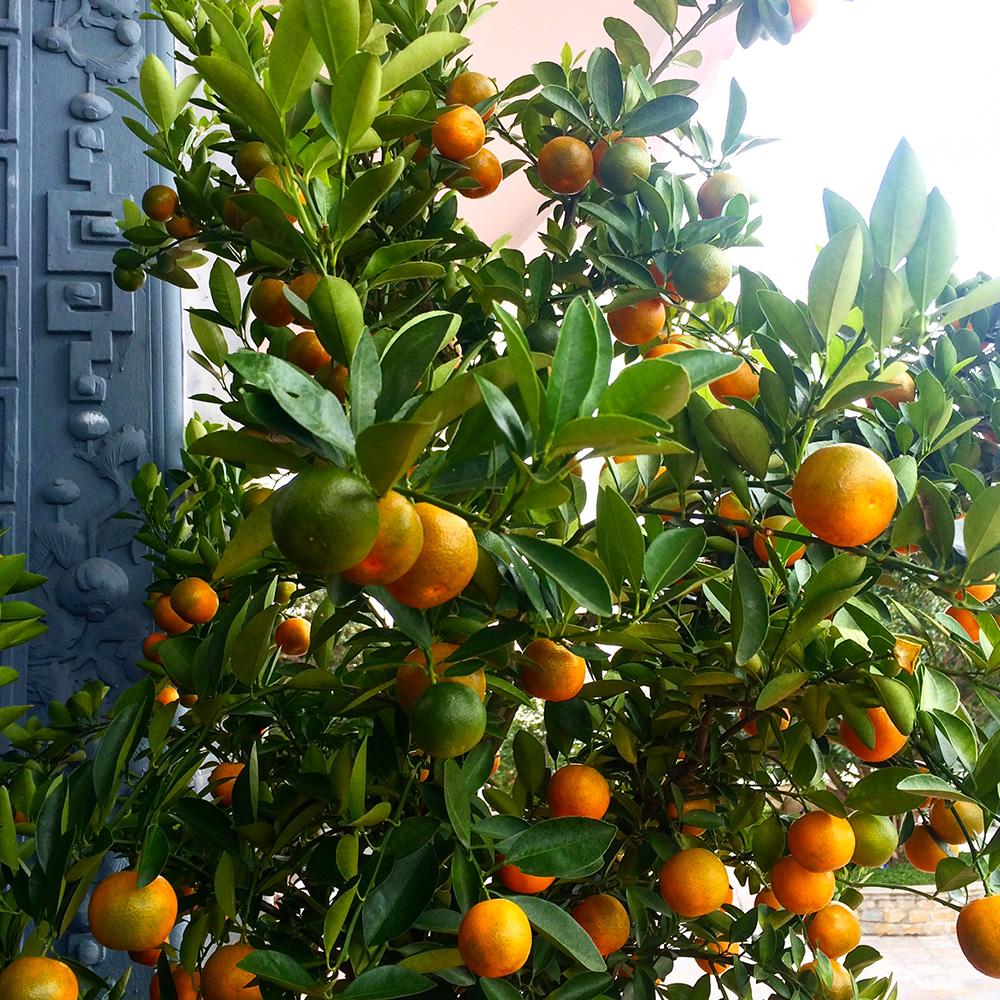 HoiAn_kumquat.jpg