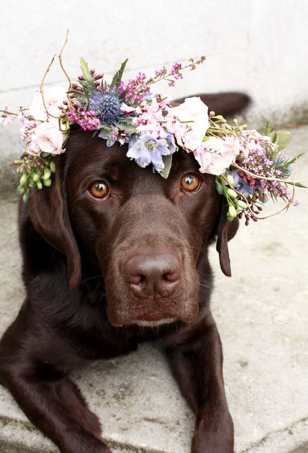 Flower Crown on Chocolate Lab