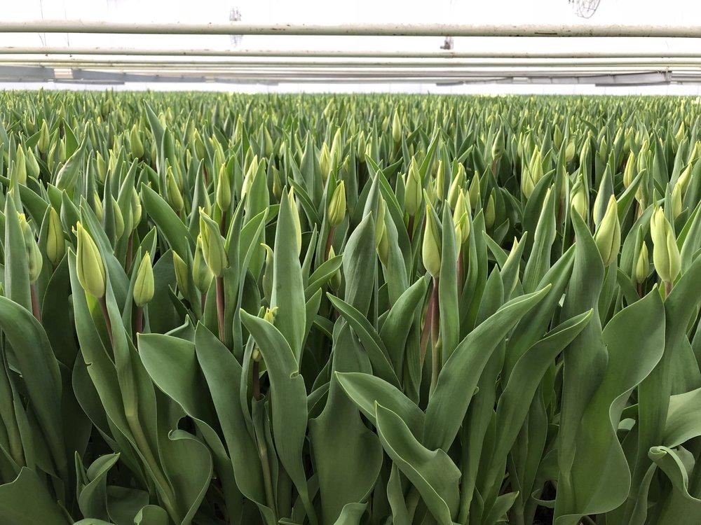 Laan Tulip Farm - B Floral