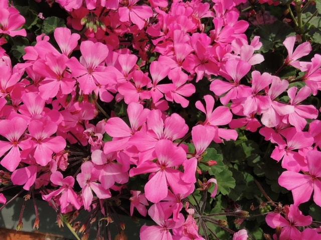 Bright Pink Geraniums - B Floral