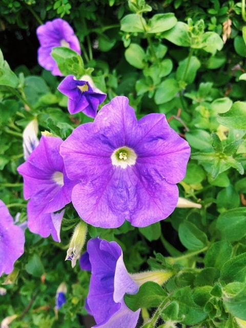 Purple Petunias - B Floral