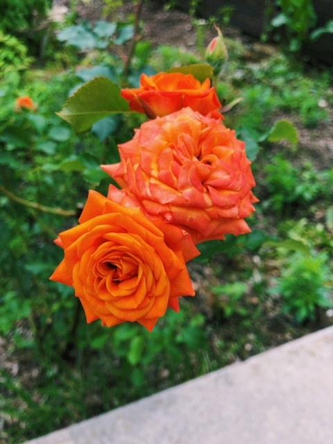 Orange Garden Roses - B Floral