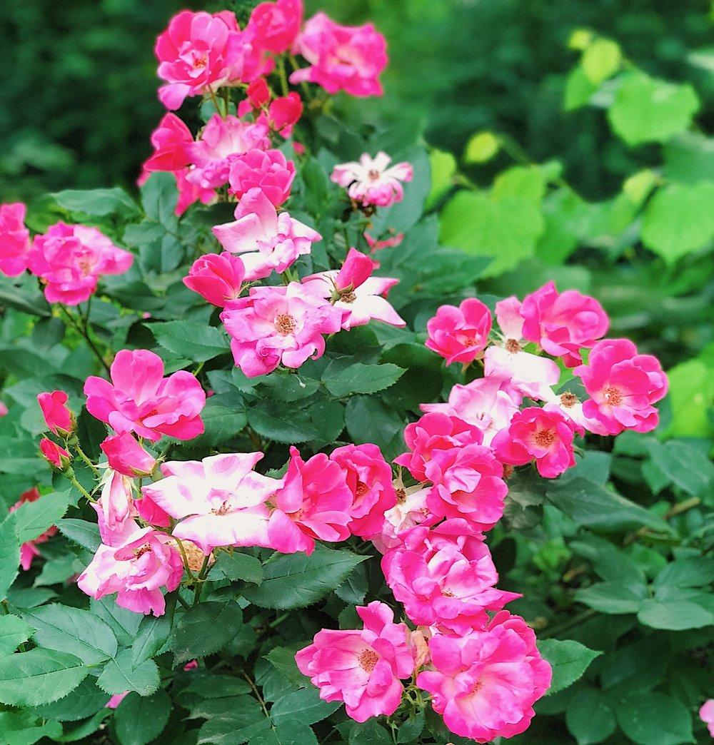 Pink Garden Roses - B Floral