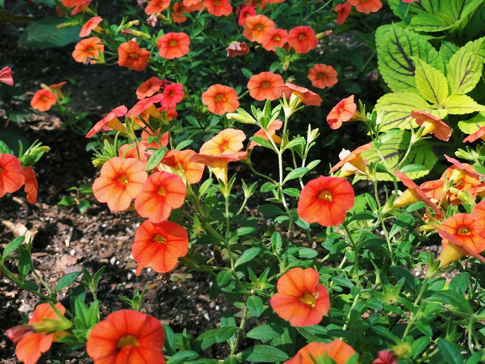 Orange Petunias - B Floral