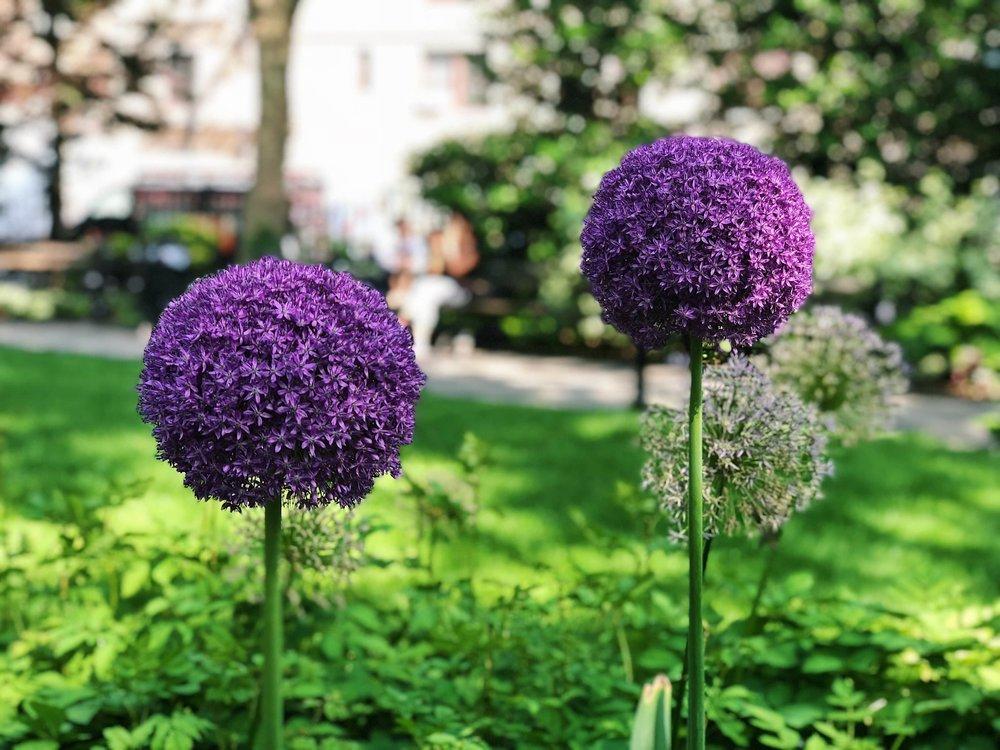 Gorgeous Alliums - B Floral