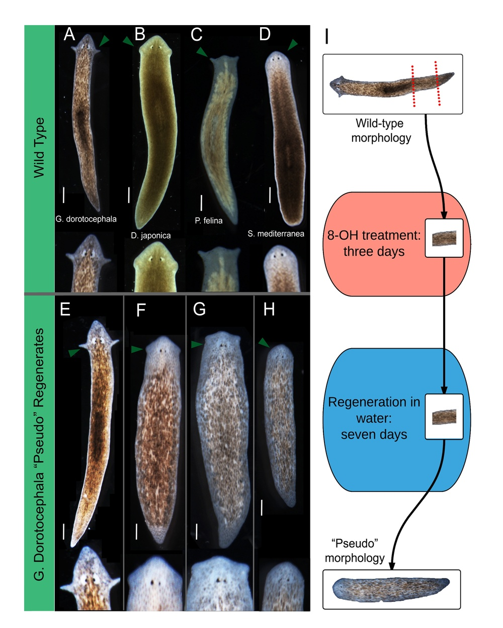 Figure 1.  Characterization of varied head morphologies produced by octanol treatment. ( A–D ) Wild-type morphologies of four species of planaria flatworm. Arrows indicate auricle placement and general head shape; ( E – H ) pre-tail (PT) fragments of  G. dorotocephala , treated in 8-OH for three days, and then moved into water for the remainder of regeneration ( n  > 243). Arrows indicate auricle placement and general head shape. Scale bar 0.5 mm; ( I ) Experimental scheme of octanol treatment. PT fragments are amputated from  G. dorotocephala  worms. Fragments are treated in octanol (8-OH) for three days, and allowed to regenerate in water for seven days.   Courtesy of Maya Emmons-Bell.