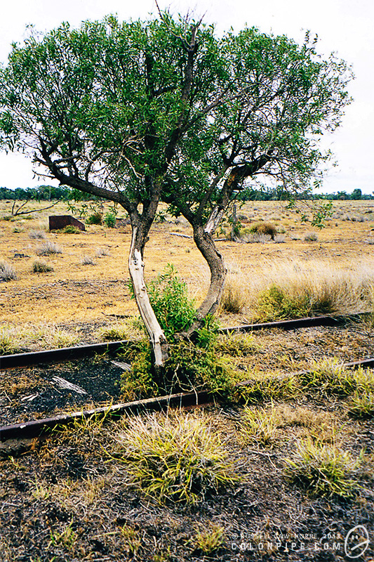 A tree grows up through the disused railway line. (2002.)