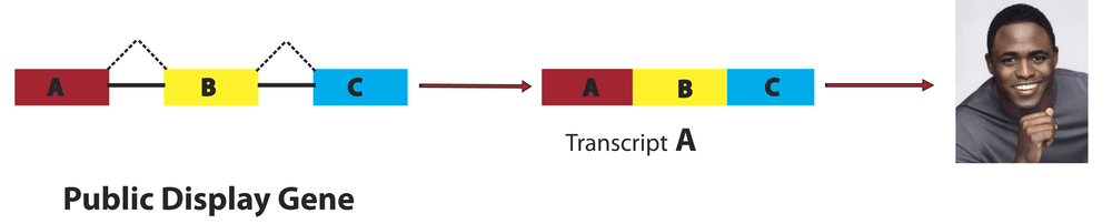 Exons (colored boxes) are joined together after the removal of certain Introns (black lines) to produce a Transcript. In this case Transcript A. Transcript A, containing exons A, B & C, is then translated to produce a distinct protein; producing the Wayne Brady phenotype.