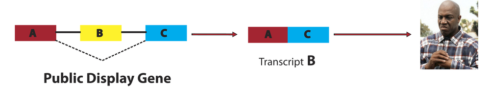 Under stressful conditions, the same public display gene produces a different transcript; Transcript B. Transcript B, containing only exons A & C, makes a distinct protein; producing the Deebo phenotype.