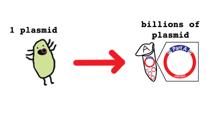 The miniprep: One plasmid to billions