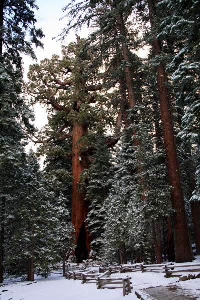 Mariposa Grove Grizzly Giant  Photo by adam blauert