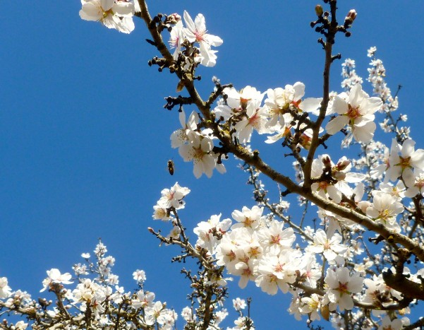 almond blossoms in merced