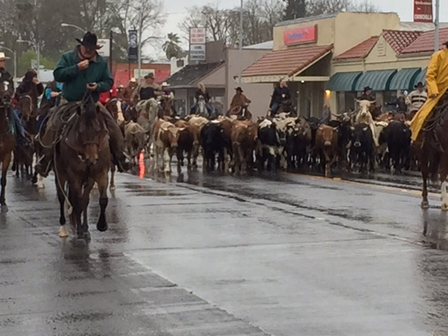 The Stampede cattle drive brings out the area's most dedicated cattle people.  Picture by Steve Newvine