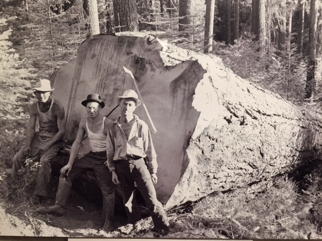 Loggers with a really big tree that would eventually be cut at the sawmills of Yosemite Lumber Company.  From Merced Lumber Company, Merced Falls exhibit at the Merced County Courthouse Museum.