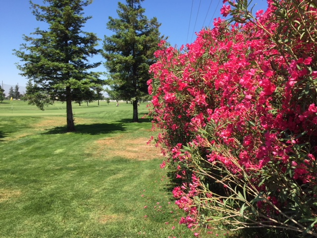 Brilliant red flowers frame the putting green at Stanislaus Golf Course in Modesto.  Photo by Steve Newvine