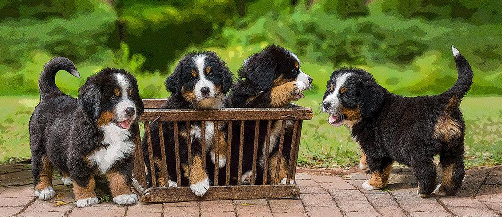 Berner Puppies