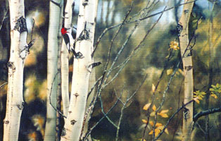 """Red-headed Woodpecker in Aspens"""