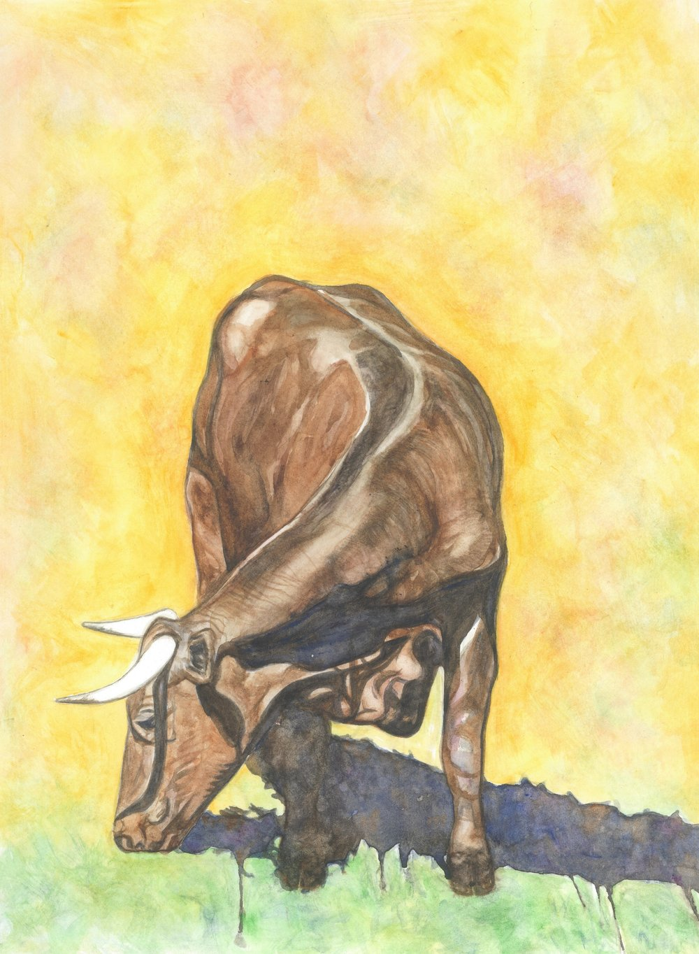 (O) American Milking Devon