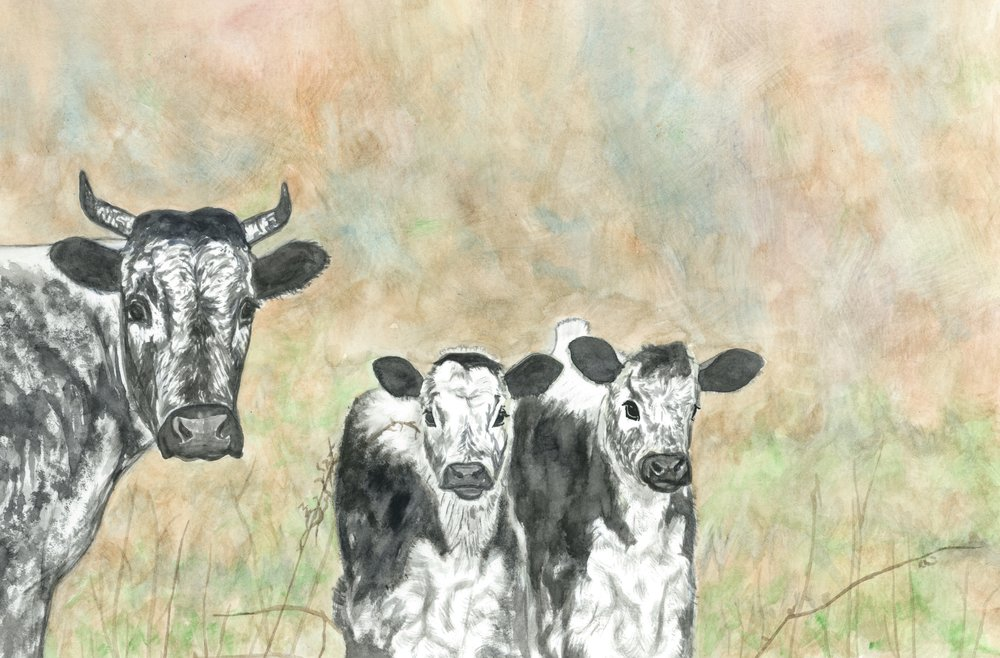 (R) Randall Cattle